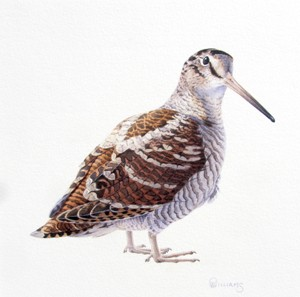 Woodcock study - Owen Williams 2015